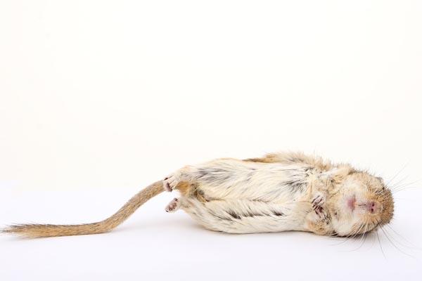 qué significa soñar con ratas
